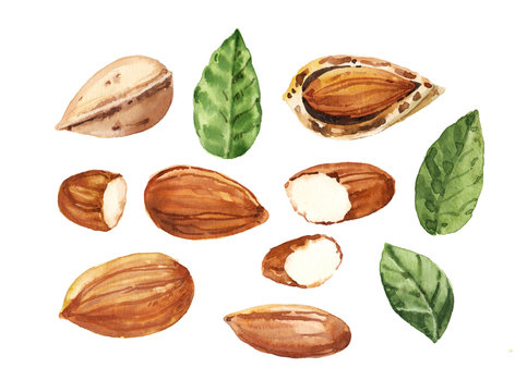 Watercolor hand painted almond nut and leaves illustration set on white background