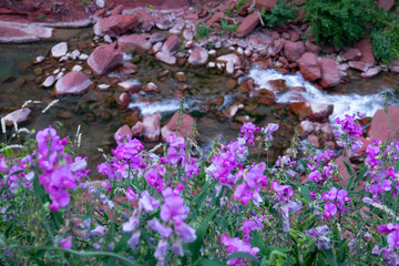 CLOSE UP: Vivid purple flowers grow by the river flowing through the red gorge.