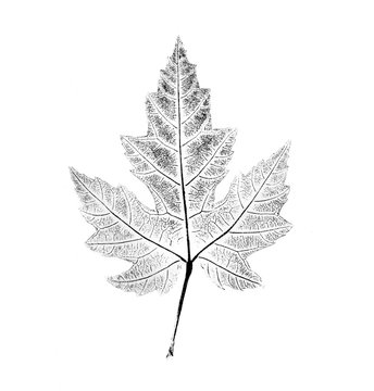 Black and white ink stamp of a maple leaf with organic texture. Isolated leaf from tree.
