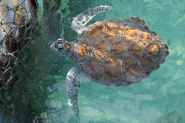 Top view of gold and gray endangered sea turtle in water, swimming up to sanctuary fence