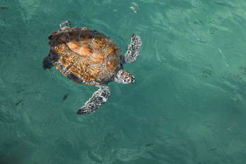 Full body overhead view, endangered painted hawksbill sea turtle in clear tropical water, natural light
