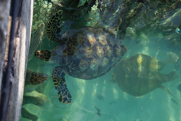 Endangered hawksbill sea turtles floating next to sanctuary fence in tropical teal water, overhead view
