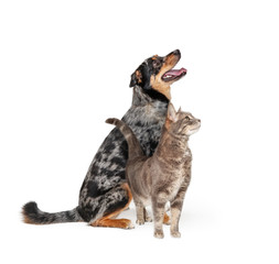 Excited Aussie Dog and Cat Together Looking Up