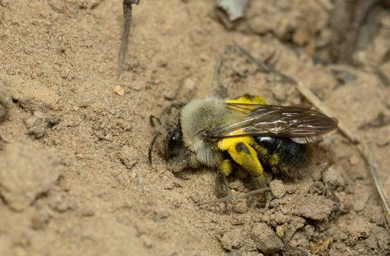 Grey-backed mining bee, Andrema vaga digging in sand
