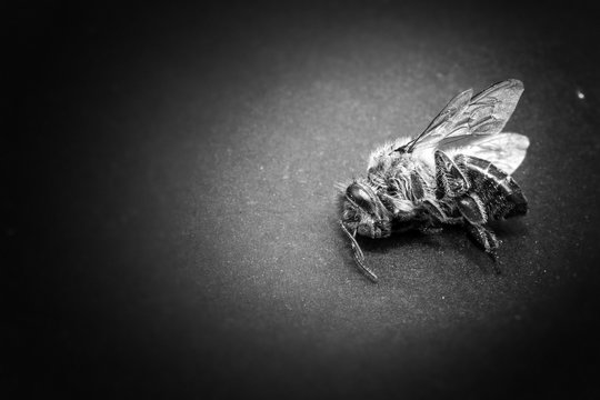 Macro image of a dead bee on a leaf of a declining beehive, plagued by the collapse of collapse and other diseases, use of pesticides in the environment and flowers.