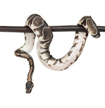 Royal Python, or Ball Python (Python regius) on a dry stick. isolated on white background