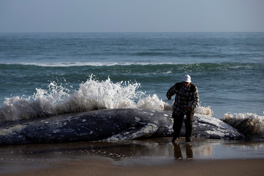 A man runs away from a dead gray whale as a wave crashes onto its carcass on Limantour Beach at Point Reyes National Seashore in Point Reyes Station, north of San Francisco, California