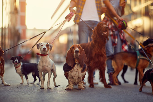 group of dogs with man and leash ready to go for a walk.