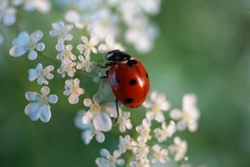Fototapeta ladybug on white flowers obraz