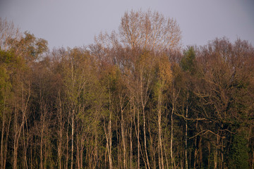 Forest with birch trees in evening sun in spring.
