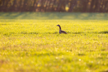 Egyptian goose in meadow in evening sun in early spring.