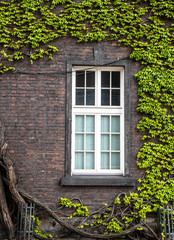 White window on brick wall with green liana plants