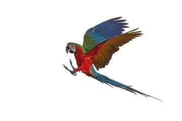 Beautiful macaw flying isolated on white background