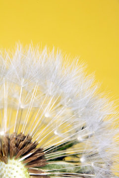 Dandelion Seed Head Blowball Close Up on Yellow Abstract Background