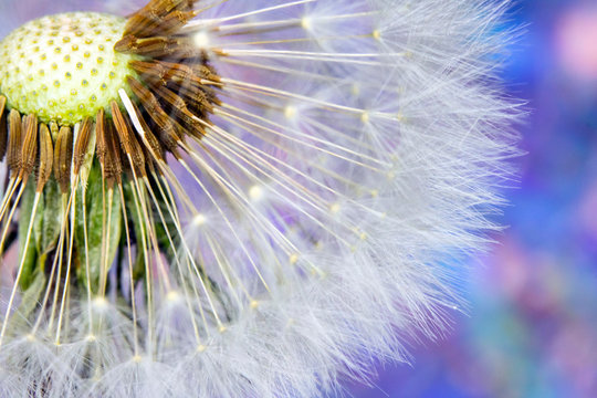 Dandelion Seed Head Blowball Close Up on Rainbow Abstract Background