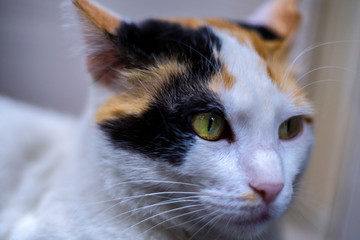 Close up portrait of a three colored cat. Selective focus on the left eye