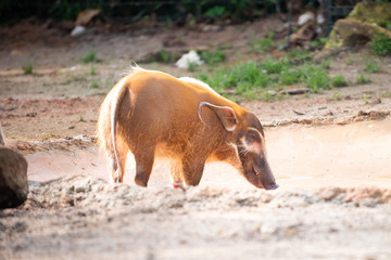 Side view of a Happy Looking Red River Hog looking for food in red muddy waters