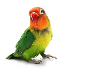 Fotobehang Papegaai Lovebird isolated on white, Agapornis fischeri