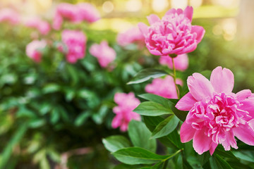 peony bush in the courtyard of a residential building in the spring at sunset