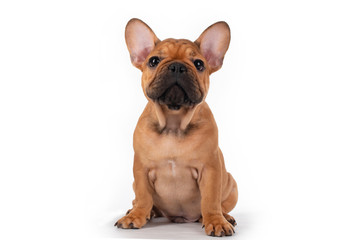 french bulldog puppy on white isolated background