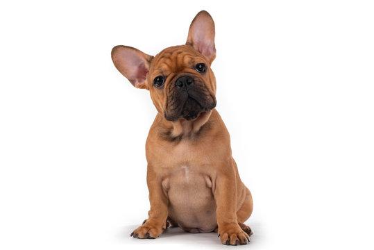 french bulldog puppy on white isolated background