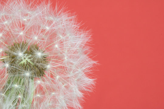 Dandelion Seed Head Blowball Close Up on Pink Red Abstract Background