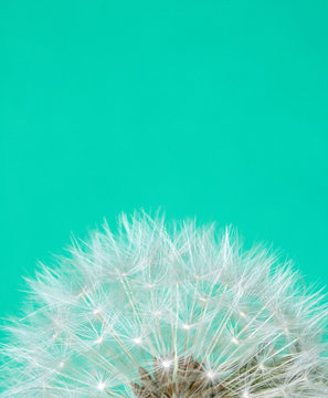 Dandelion Seed Head Blowball Close Up on Blue Abstract Background