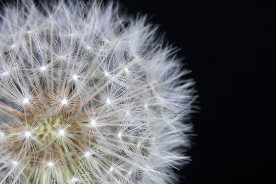 Dandelion Seed Head Blowball Close Up on Black  Abstract Background