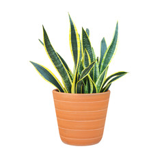 sansevieria or snake plant in a pot isolated on white