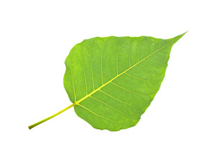 green bodhi leaf isolated on white