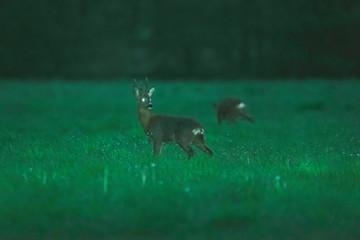 Roebuck in meadow during twilight in spring.
