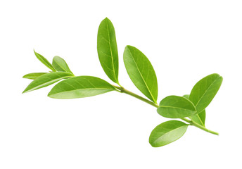 Branch with green leaves on white background Wall mural