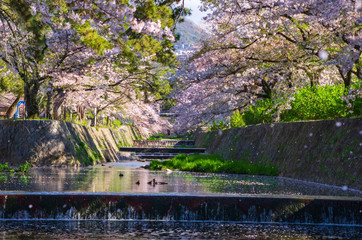 兵庫県西宮市・桜咲く夙川の風景