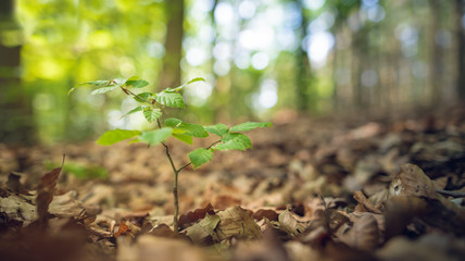 Junge Buche wächst im Wald