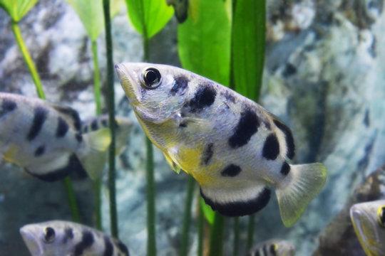 archer fish (Toxotes jaculatrix)