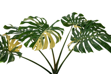 Tropical rainforest green Monstera Giant Yellow Variegated jungle leaves vine plant rare Philodendron isolated on white background, clipping path incuded.