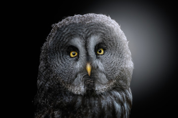 Head of fluffy great grey owl with yellow eyes and beak looking at camera and standing in back lit