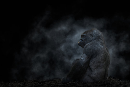 Side view of silver back mountain gorilla sitting and eating nut in back lit