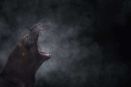 Sea lion standing and roaring with open mouth in back lit
