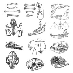 Magic animal bones design elements set. Hand drawn sketch for magician collection. Witchcraft spell symbols, bird raven, chicken bones, wolf or dog jaw, vampire bat skeleton, rat or mouse. Vector.