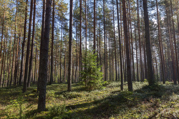 Keuken foto achterwand Olijf young spruce grows among the pines