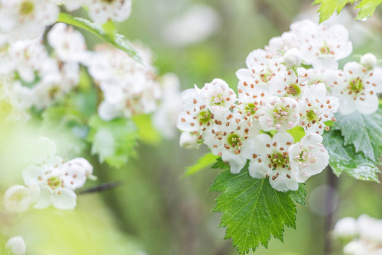 blooming hawthorn flower with green leaf on branch