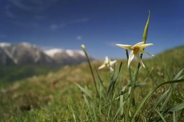 Door stickers Narcissus Wild flowers - wild daffodils, narcis - Narcissus radiiflorus