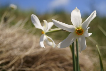 Poster Narcissus Wild flowers - wild daffodils, narcis - Narcissus radiiflorus
