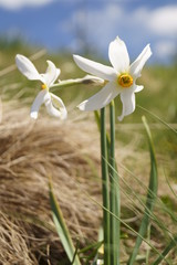 Foto auf AluDibond Narzisse Wild flowers - wild daffodils, narcis - Narcissus radiiflorus