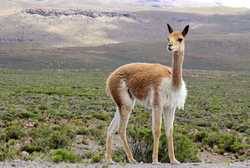 Acrylic Prints Lama Vicuna near the Colca Canyon