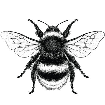 Illustration of a Buff-Tailed Bumblebee