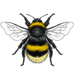 Illustration of a Female Buff-Tailed Bumblebee