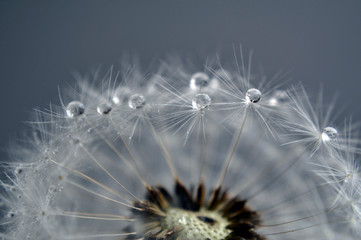 Macro dew drops on a dandelion seeds on gray background. An artistic picture of dandelion flower.