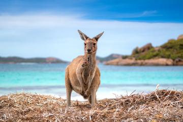 Foto op Aluminium Kangoeroe Kangaroo 0n the Lucky beach western Australia